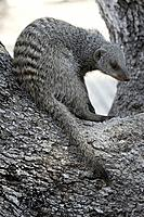Banded mongoose Mungos mungo in a tree. This species is commonly found in areas with many termite mounds, which are used as a source of food and housi...