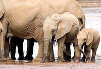 African elephant Loxodonta africana and two calves drinking water from a river. Photographed in Samburu National Reserve, Kenya.