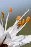 White Asphodel (Asphodelus albus). Alt Emporda, Girona province, Catalonia, Spain