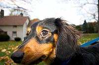Long haired Dachshund in New York countryside