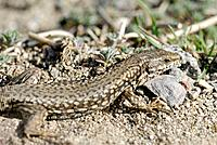 Wall Lizard (Podarcis muralis), Pyrenees Mountains