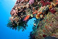 Beautiful coral covered archway with colorful fish life  Beqa Lagoon, Fiji, Oceania