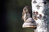 A Pygmy Owl (Strix nebulosa) in close-up on a tinder fungus, Vasterbotten, Sweden