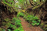 Forest, Anaga mountains, Tenerife. Canary Islands, Spain