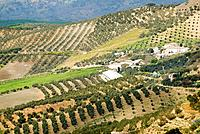Olive trees, Andalucia, Spain