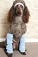 Standard poodle wearing a headband and leg warmers