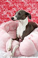 Italian greyhound resting on a pet bed