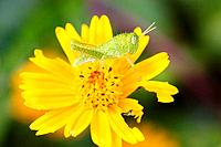 African Green Grasshopper on yellow flower, Malawi