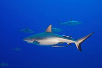 Australia, Great Barrier Reef, Grey Reef Sharks, underwater view