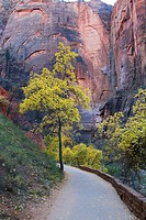 USA, Utah, Zion National Park, Box elder trees Acer negundo beside path in canyon