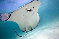 Underwater view of Southern Stingray Dasyatis americana
