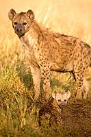 Adult spotted hyena Crocuta crocuta with young cub standing in grass