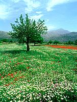 Blooming flower Meadow, Dikti Mountains, Lassithi Plateau, Crete, Greece