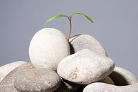 Sapling growing from pebbles