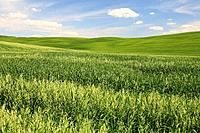 Wheat field, crop, hill countryside, agricultural landscape, Tuscany, Italy