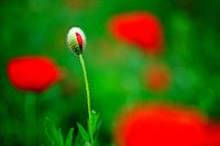 Red Poppy, Corn Poppy, Poppy, Papaver rhoeas, spring, Tuscany, Italy