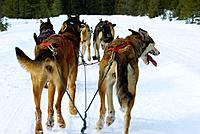 Dog sled tour with Kingmik Dogsled Tours along the Continental Divide, near Lake Louise, Alberta, Canada
