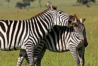 Burchell's zebra play fighting on the plains of the Masaii Mara, Kenya