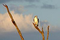 A juevenile martial eagle perched in a tree above the Mara river, Kenya