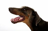 Dobermann Pinscher, blue