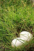 Eggs in patch of grass (thumbnail)