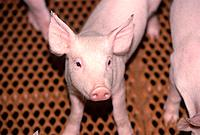 Young pig, CPIG Hog Operation, Cudworth, Saskatchewan