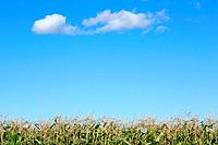 Cropped shot of corn field with blue sky
