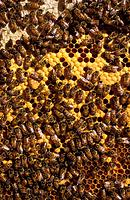 Bees in a cake of wax