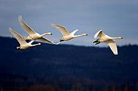 Cygnus cygnus\\Swans