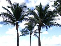 salvador three palm trees planted in the green grass square beach