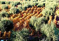 vineyard crop grape production plantation