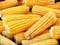 raw corn beans ears for sales