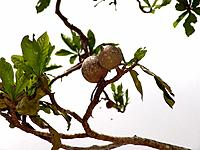a northeast tropical fruit tree