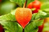 Chinese lantern on the plant close_up