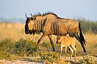 Africa, Botswana, Wildebeest and calf Connochaetes taurinus