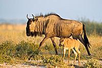 Africa, Botswana, Wildebeest and calf Connochaetes taurinus