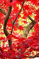 Japanese maple tree Acer palmatum, close_up