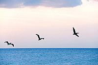 Mexico, Holbox Island, Pelicans in flight