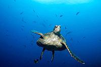 Galapagos Islands, Ecuador, Hawksbill turtle Eretmochelys imbricata