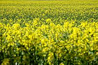 Germany, Bavaria, Rape field Brassica napus