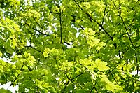 Germany, Bavaria, Ebenhausen, Norway maple Acer platanoides leaves, close_up