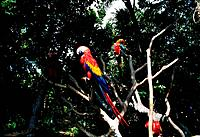many cockatooes parrots on the tree