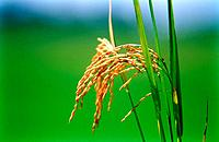 rice grains plantation dried