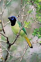 Green Jay (Cyanocorax yncas) - Texas - Tropical species-range extends to southern tip of Texas - Resident and locally common in brushy areas and strea...