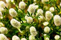 """Rabbit-foot Clover, Trifolium arvense"" ""Ocean Sands, Corolla, NC 27927 USA; Outer Banks"""