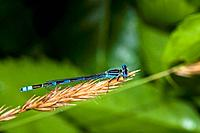 """Familiar Bluet Damselfly, Enallagma civile"" ""Corolla, NC 27927 USA; Outer Banks, Currituck Heritage Park, wetlands vegetation near Currituck Sound"""