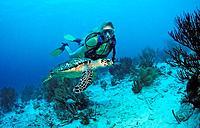 Diver, Echte Karettschildkrote, Eretmochelys imbricata, Bonaire island, Caribbean, Netherlands Antilles, Abc_island, A
