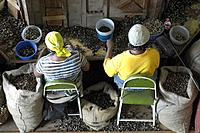 Grenada, Carribean, Gouyave city, town, Gouyave, nutmeg, nutmegs, factory, processing, workers, work, inside, Indoor,