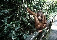 Malaysia, Borneo island, Southeast Asia, State of Sabah, Sepilok, Orang_utan Rehabilitation Centre, Orang_utan, Animal