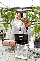 Researchers installing fruit growth sensors, pepper culture, greenhouses, Neiker-Tecnalia, Institute for Agricultural Research and Development, Derio,...